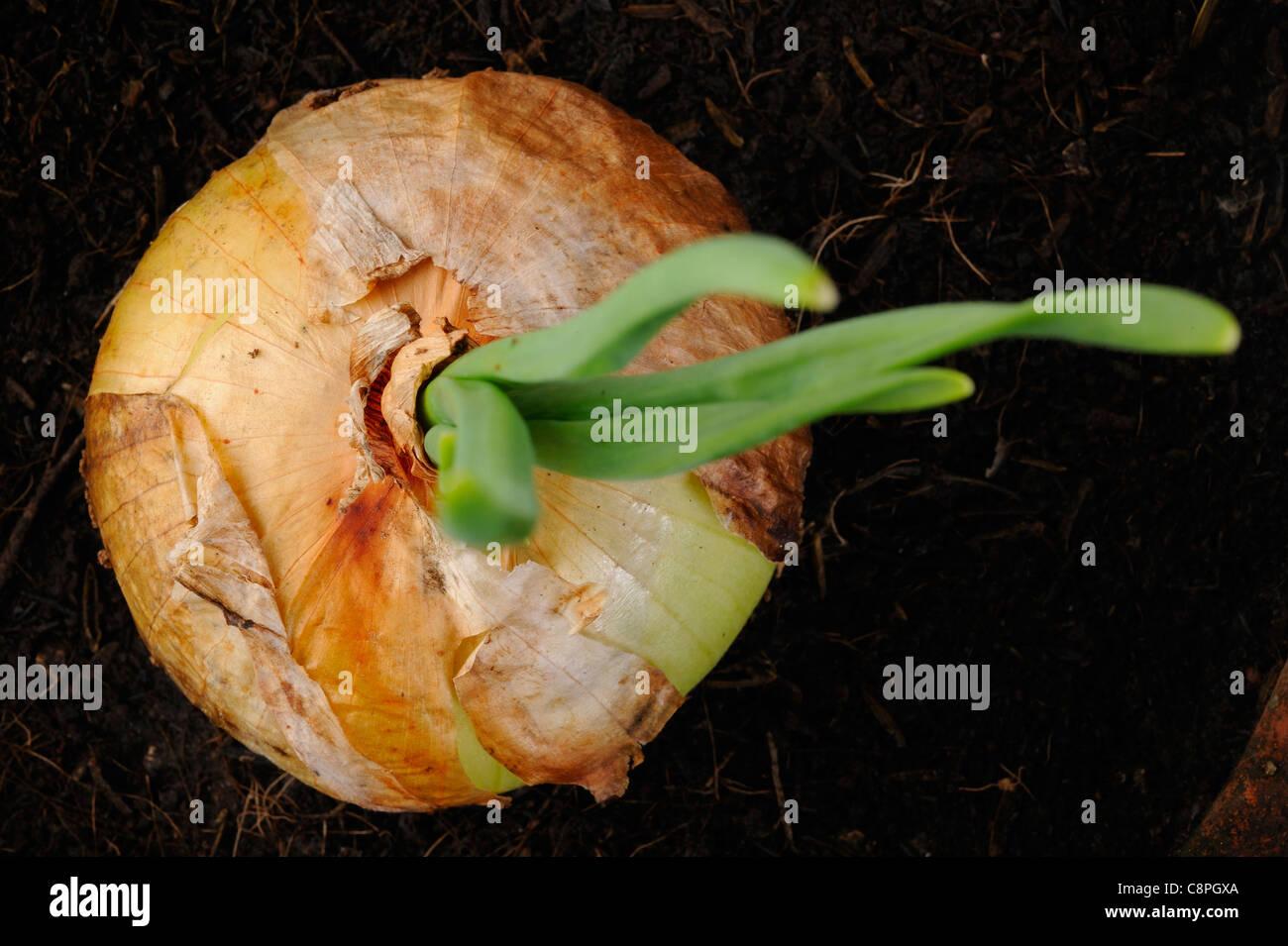 Germoglio bulbo della cipolla Immagini Stock