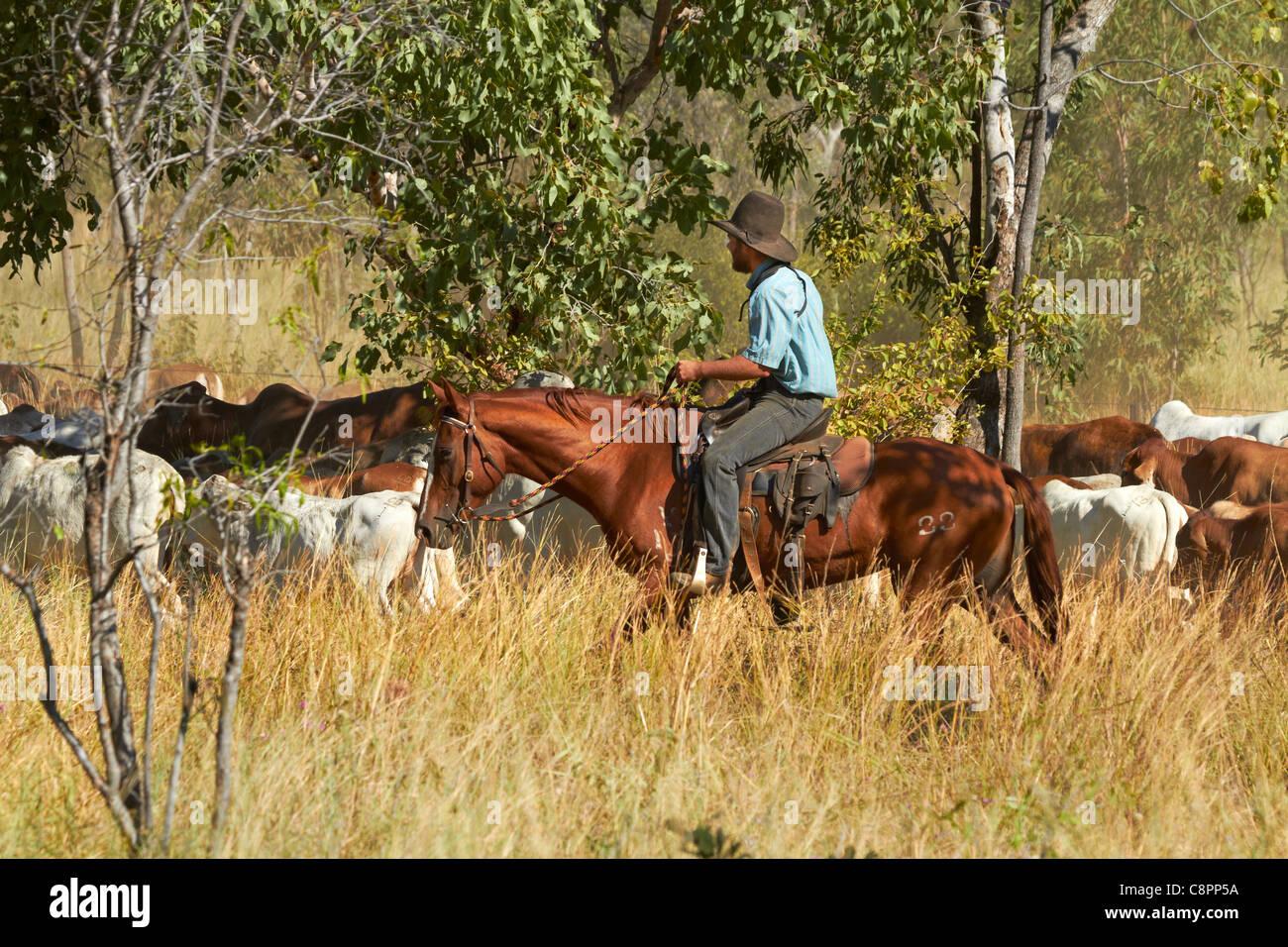 Cowboy raduno del bestiame, Victoria Highway, Territorio del Nord, l'Australia Immagini Stock