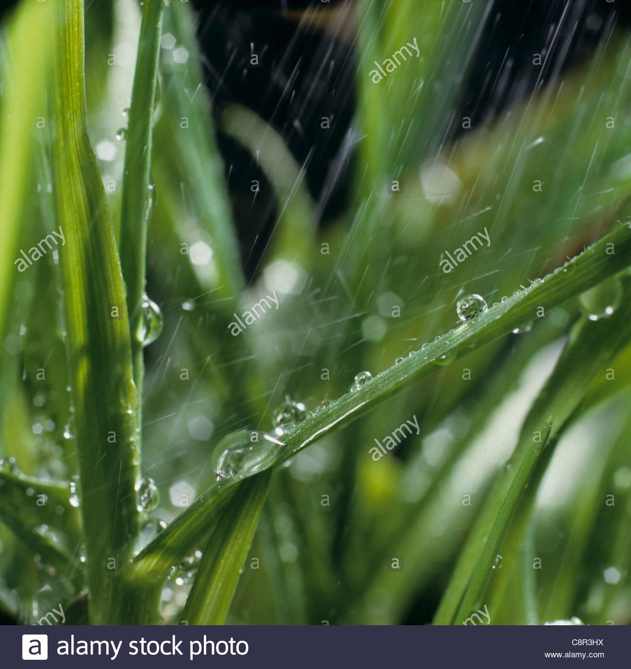 Simulazione di acqua di pioggia caduta su foglie di grano Immagini Stock