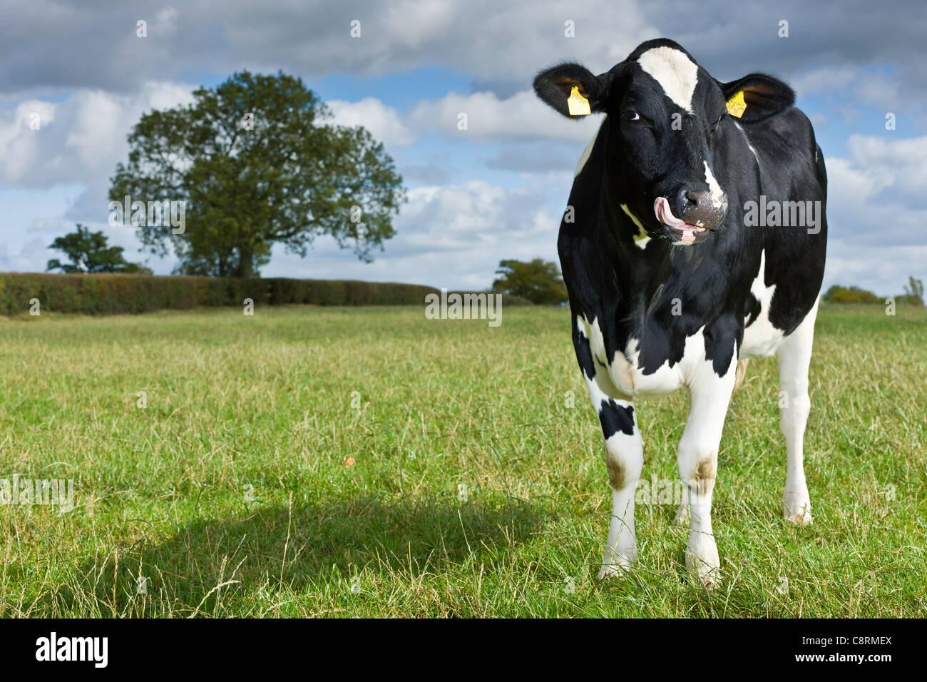 Il primo Regno Unito di bestiame da latte Immagini Stock