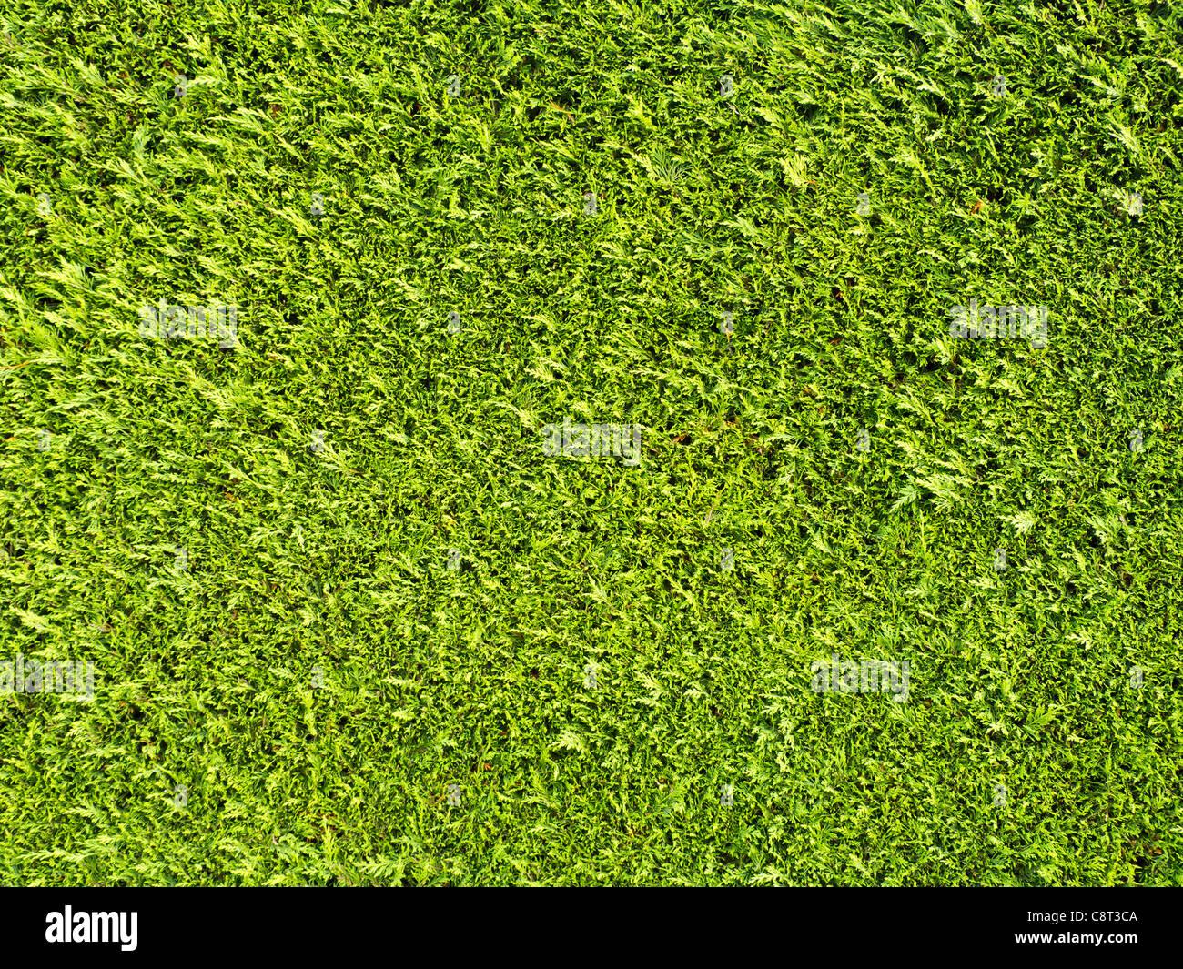 Siepe Texture Foto Immagine Stock 39867530 Alamy