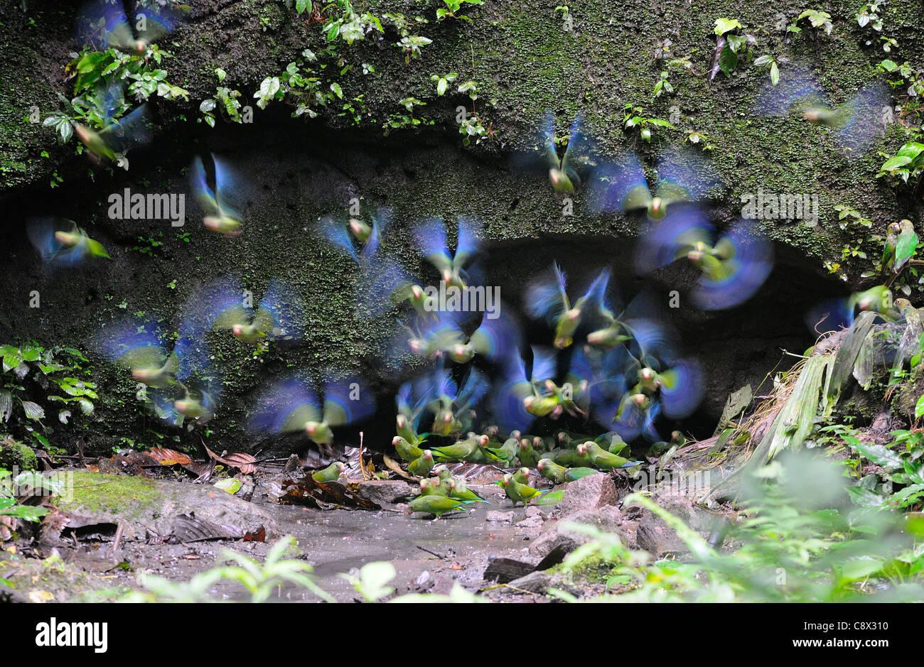 Cobalto-winged parrocchetto (Brotogeris cyanoptera) gruppo volare da argilla leccare, Yasuni National Park, Ecuador Immagini Stock