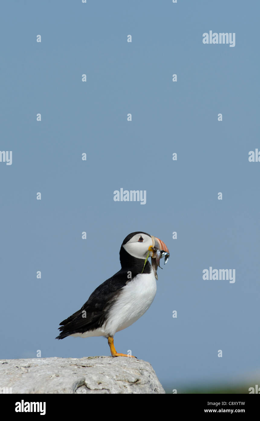 Puffin Fratercula arctica con becco pieno di cicerelli farne interno isole farne Northumberland Luglio Foto Stock
