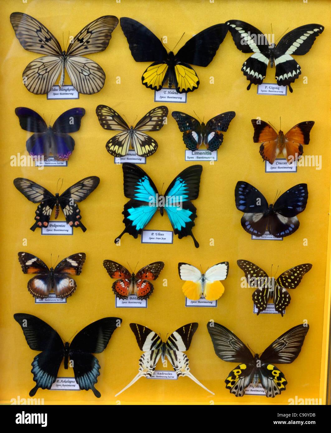 Collezione di rare butteflies asiatici in vendita ai turisti in Macassar, Indonesia Immagini Stock