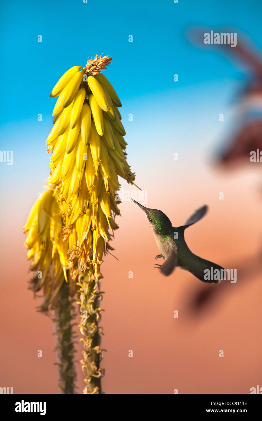 I Paesi Bassi, Oranjestad, Sint Eustatius Isola, olandese dei Caraibi. Antillean Crested Hummingbird. Femmina. Foto Stock