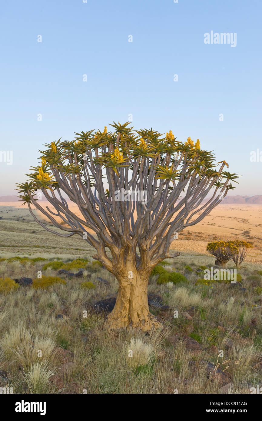 Faretra sulla struttura Fattoria Koiimasis Tiras montagne della Namibia Immagini Stock