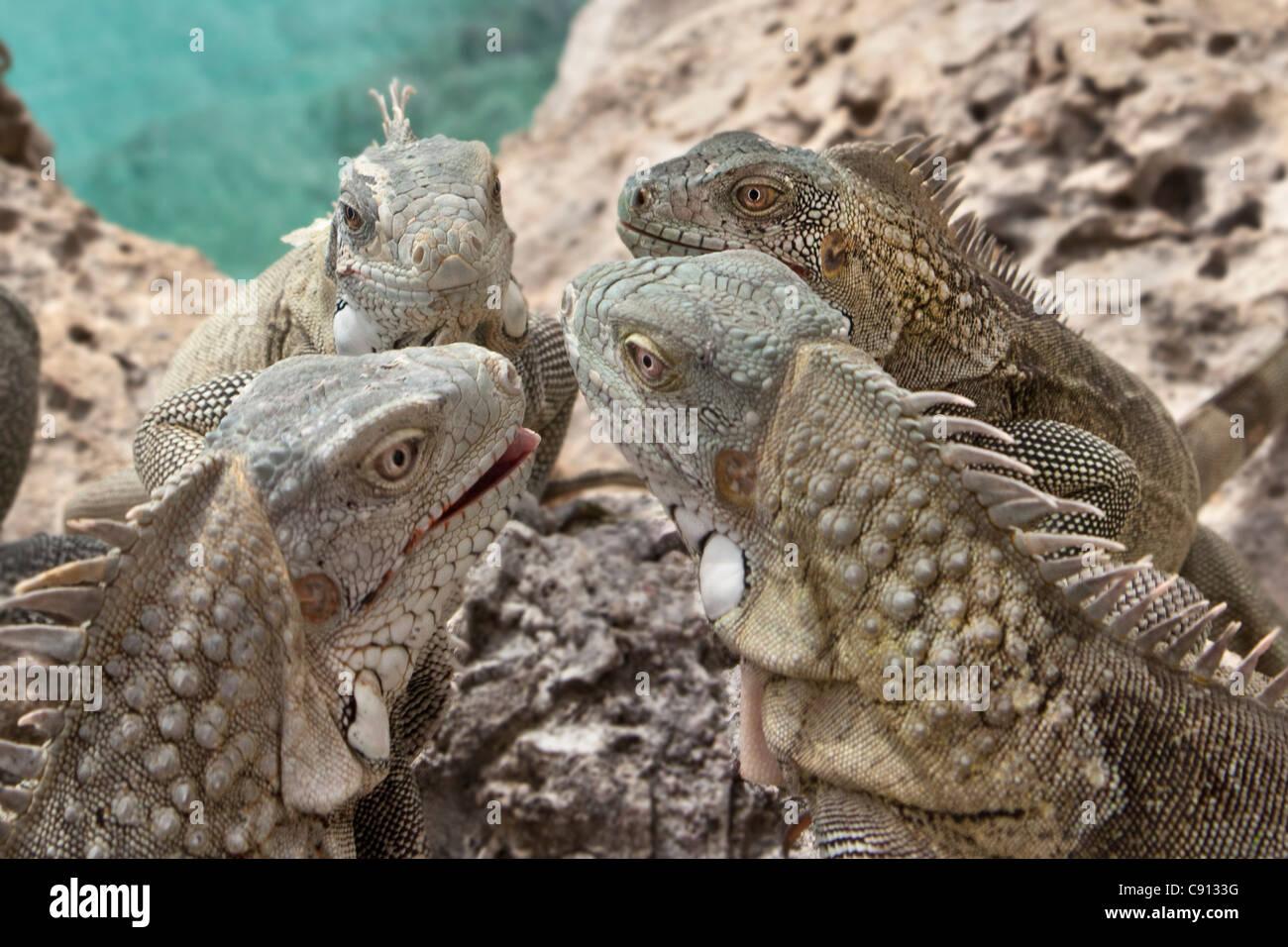 I Paesi Bassi, Bonaire Island, olandese dei Caraibi, Kralendijk, Verde ( Iguana Iguana iguana ). Foto Stock