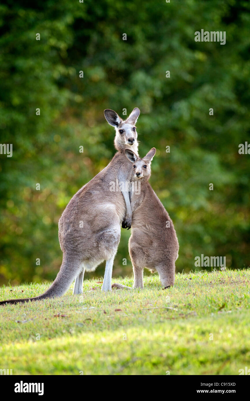 Grigio orientale canguro e Joey Australia Immagini Stock