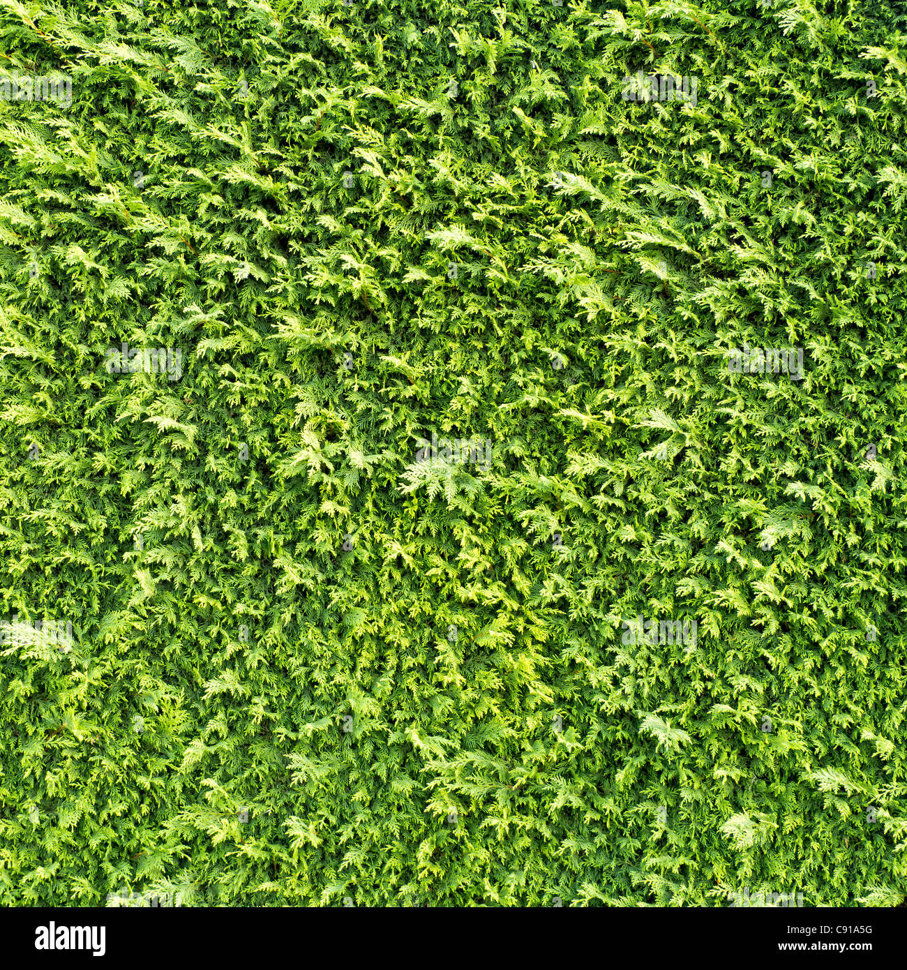 Siepe Texture Foto Immagine Stock 39982588 Alamy