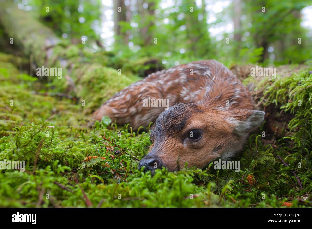 Nero-Tailed Deer Fawn giacente in moss contemplati nella foresta pluviale, Montague Island, Prince William Sound, Immagini Stock