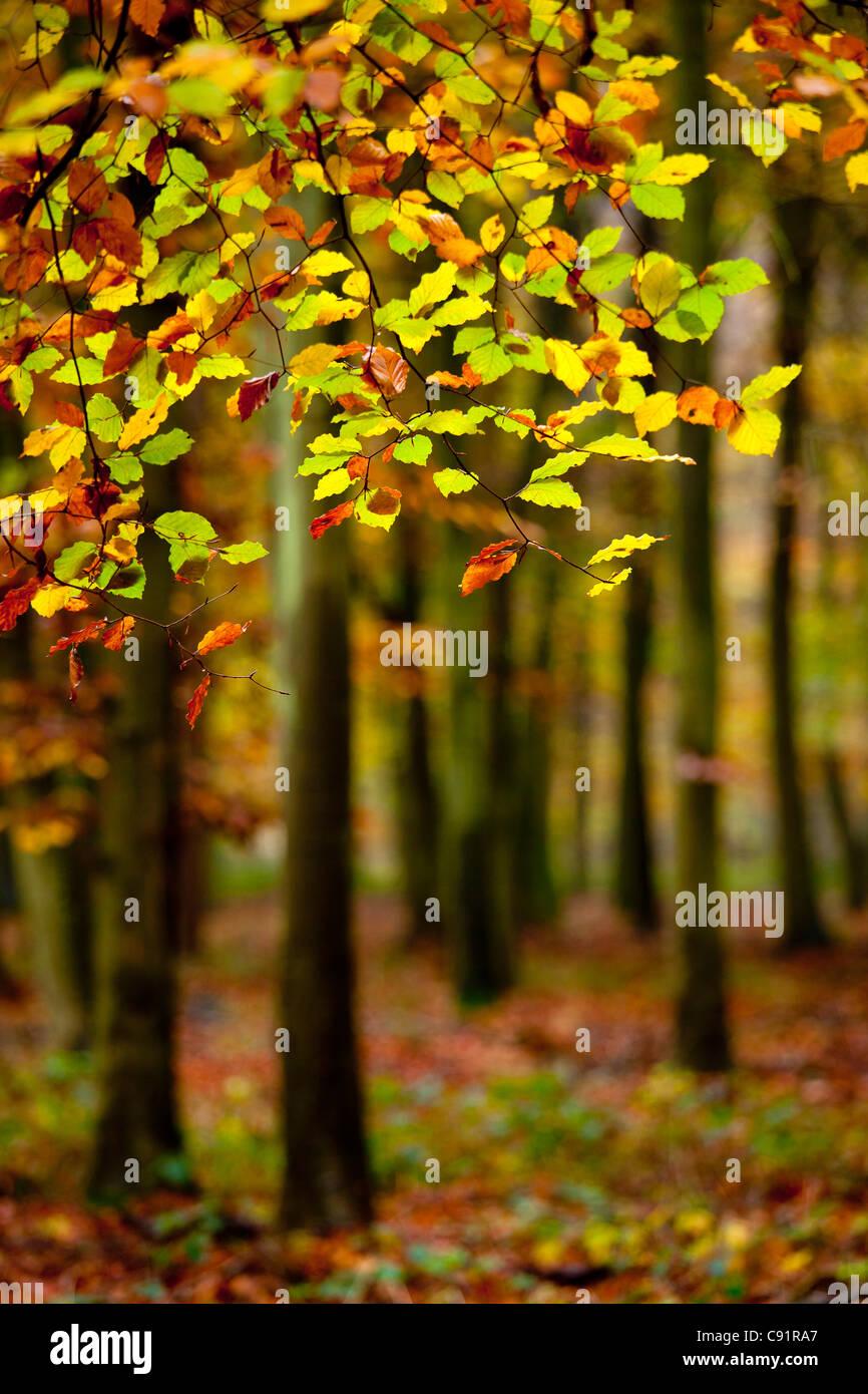 Close-up di foglie e alberi d'Autunno in legno. Immagini Stock