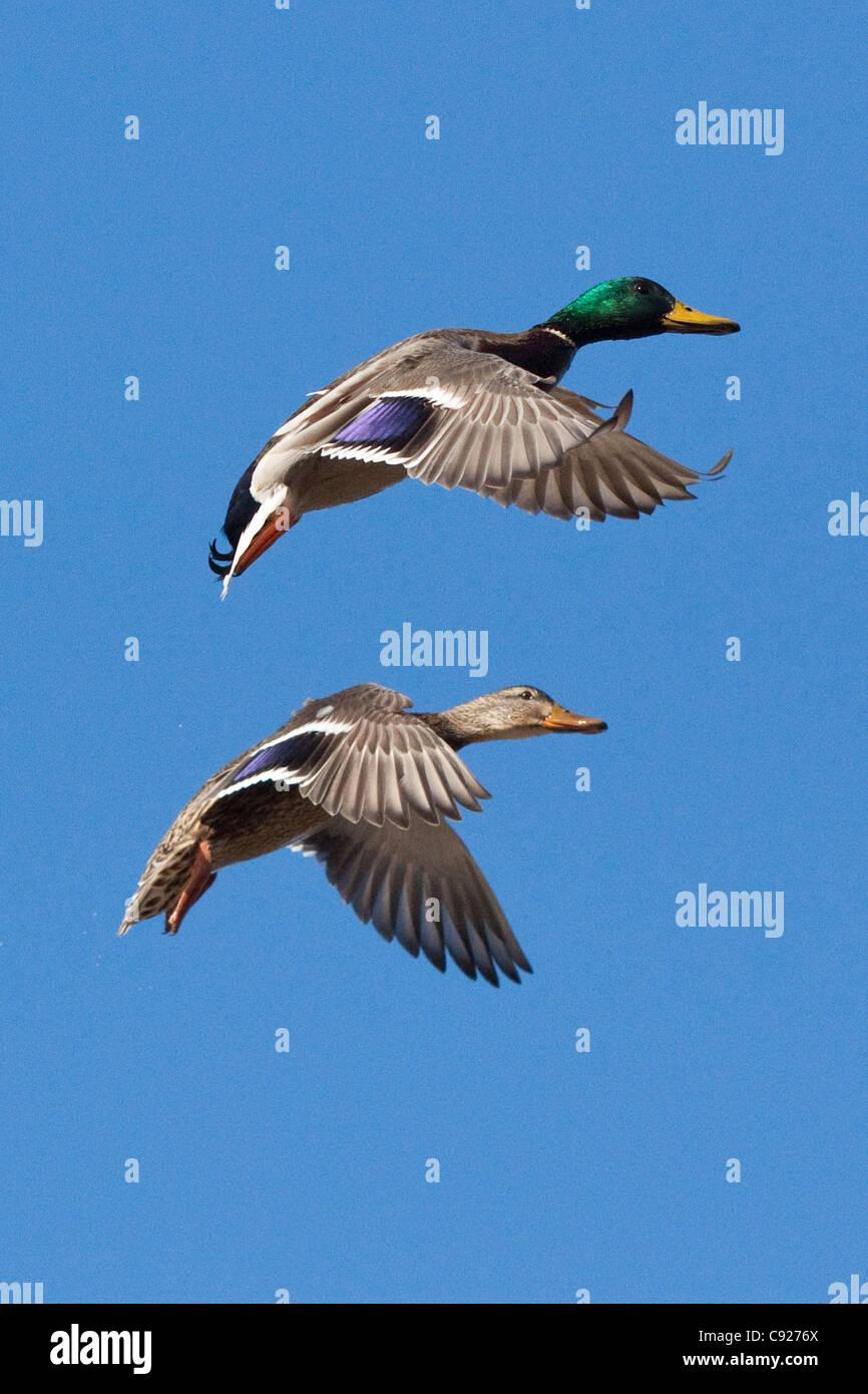 Drake e gallina di Germani Reali diffondere le loro ali e preparare la terra a un piccolo stagno di Anchorage, centromeridionale Immagini Stock