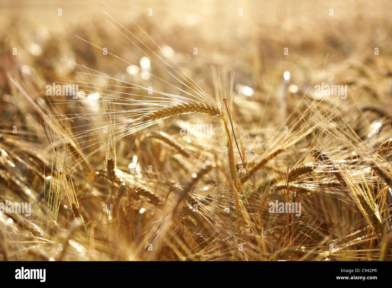 Golden campo di grano Immagini Stock
