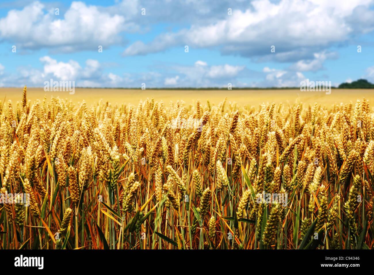 Mature campo di grano in un giorno di estate Immagini Stock