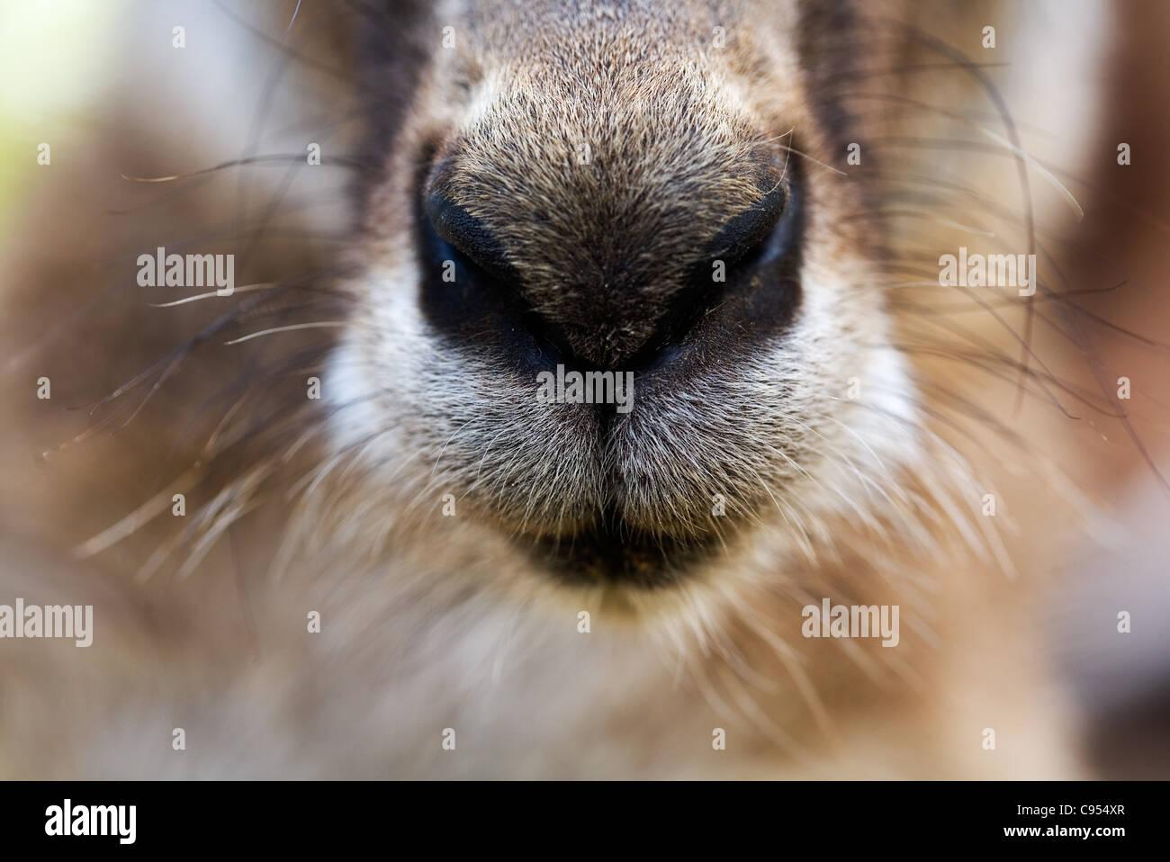 Close-up del naso di un canguro grigio (Macropus giganteus). Brisbane, Queensland, Australia. Immagini Stock