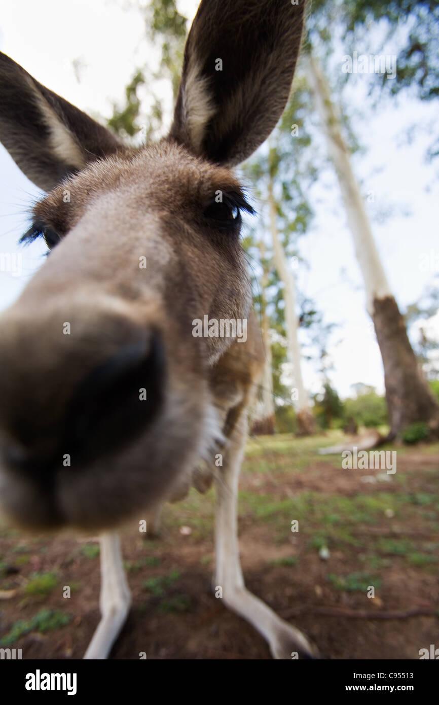 Fino a chiudere con un canguro grigio (Macropus giganteus). Brisbane, Queensland, Australia Immagini Stock
