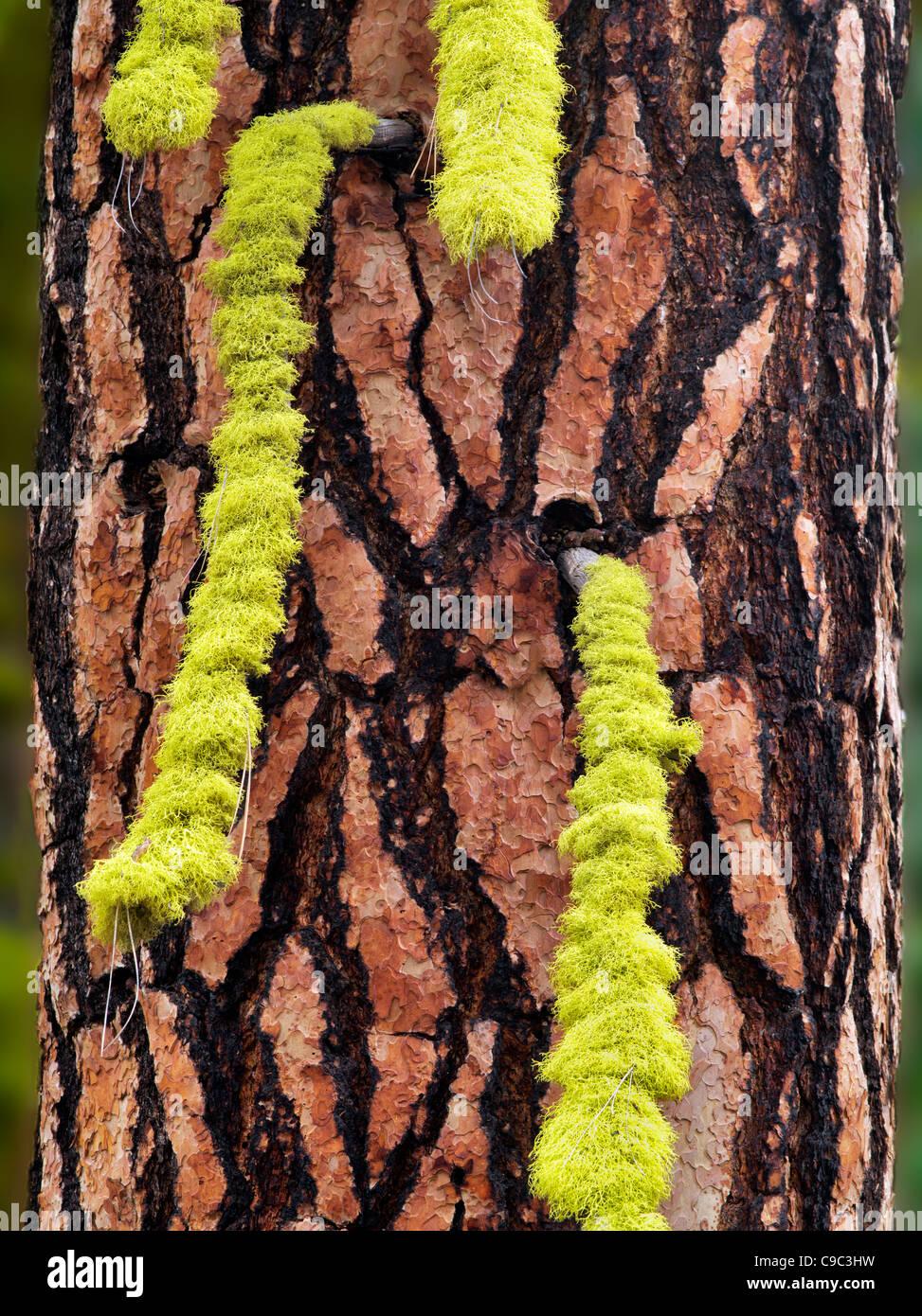 Licken su ponderosa pine tree. Oregon Immagini Stock