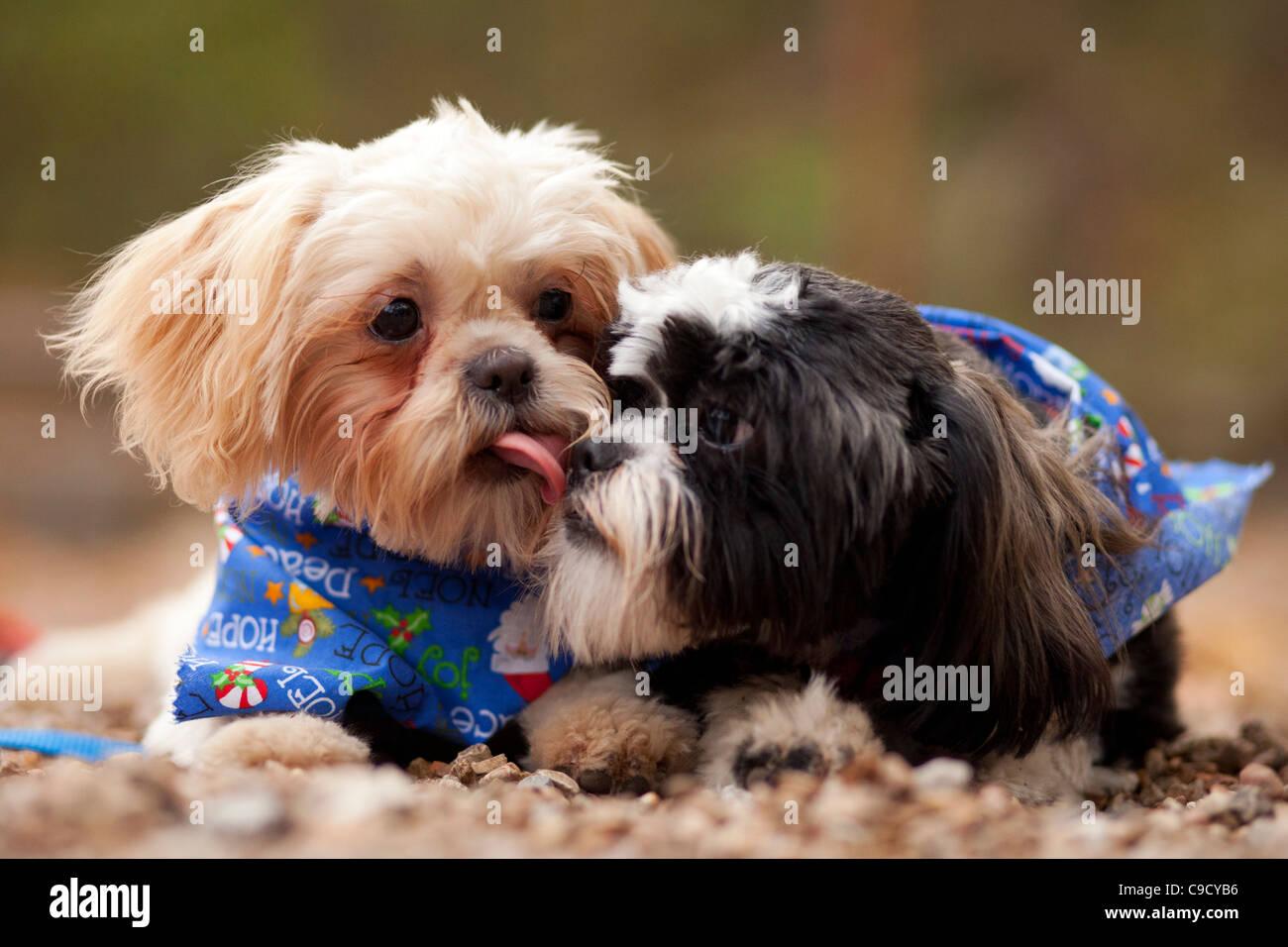 Un cucciolo Shih-Tzu dà la lettiera mate un bacio. Immagini Stock