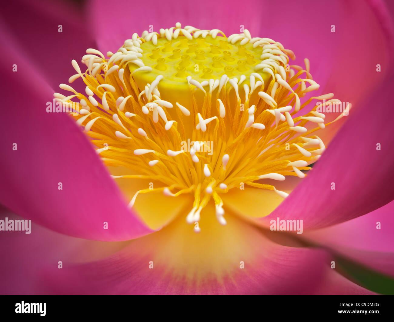 Chiusura del bocciolo di loto. Oregon Immagini Stock