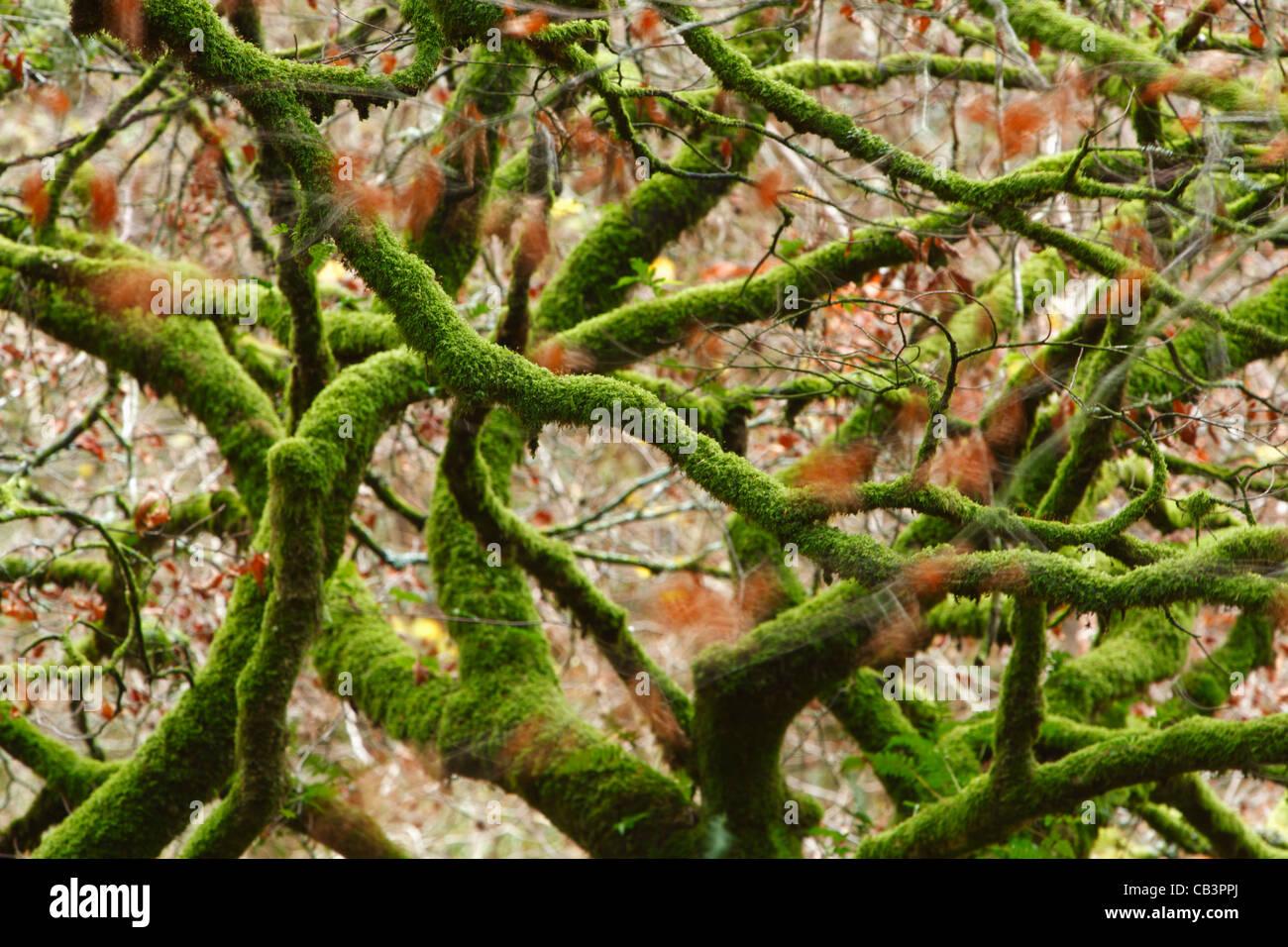 Tangled Mossy rami vicino al fiume Barle. Parco Nazionale di Exmoor. Somerset. In Inghilterra. Regno Unito. Immagini Stock