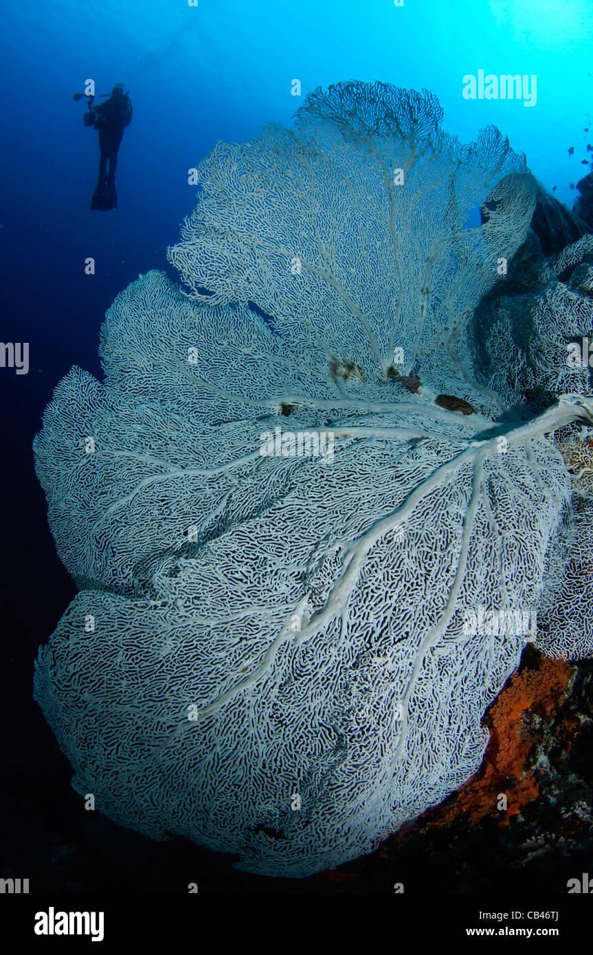Seafan gorgonia e subacqueo silhouette, Gorgonia sp., Banda Neira, Banda Mare, Indonesia Orientale, Oceano Pacifico Immagini Stock