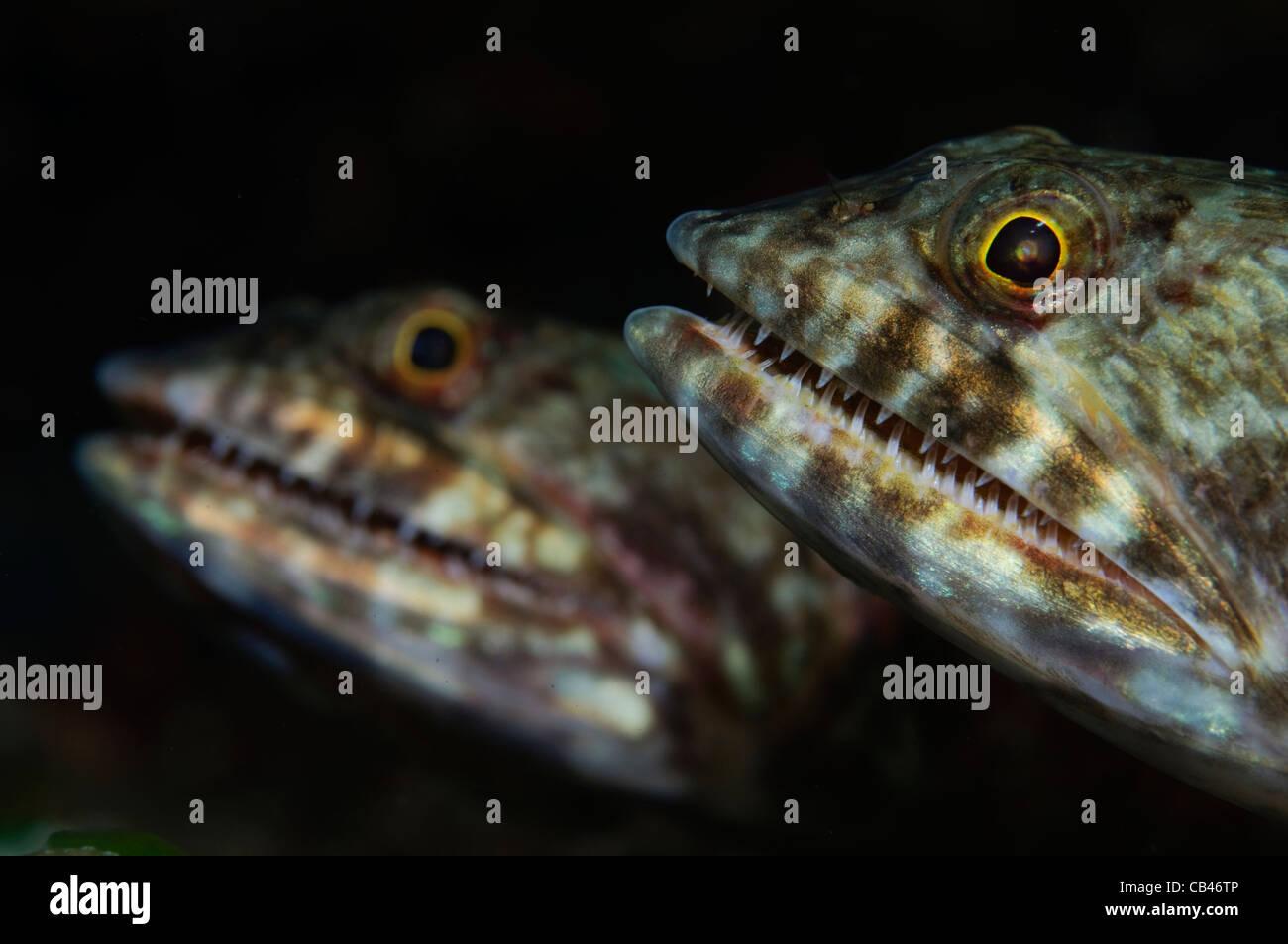 Coppia di Lizardfish, Saurida sp., Banda Neira, Banda Mare, Indonesia Orientale, Oceano Pacifico Immagini Stock