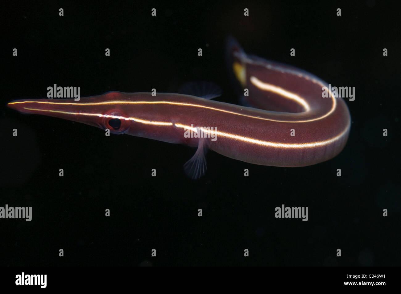 Scugnizzo clingfish, Diademichthys lineatus, Banda Neira, Banda Mare, Indonesia Orientale, Oceano Pacifico Immagini Stock
