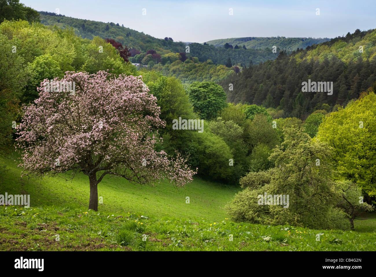 Melo in fiore nel paesaggio collinare, Pepinster, Ardenne, Belgio Immagini Stock