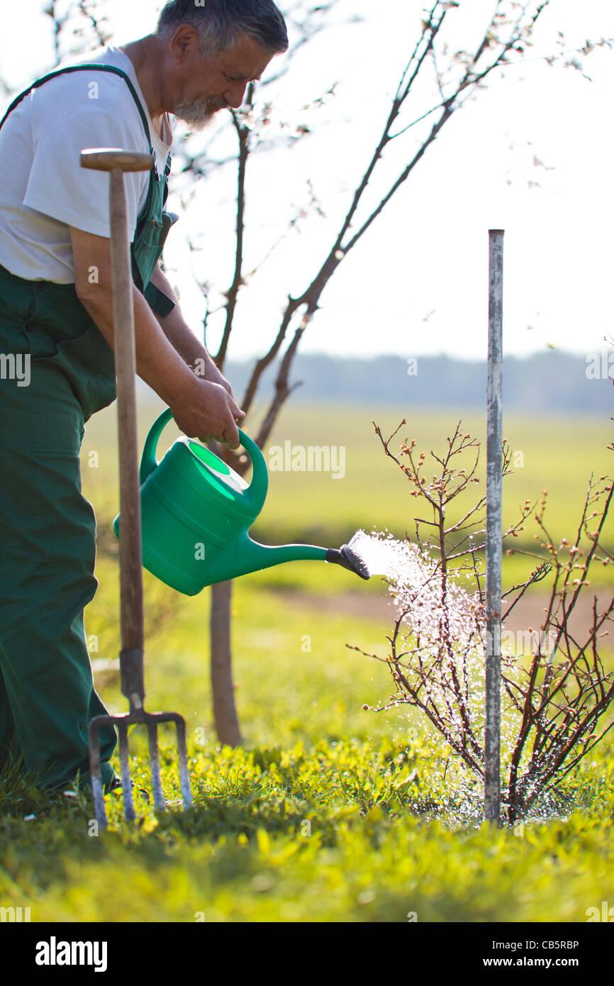 Senior irrigazione uomo il suo giardino/Orchard Immagini Stock