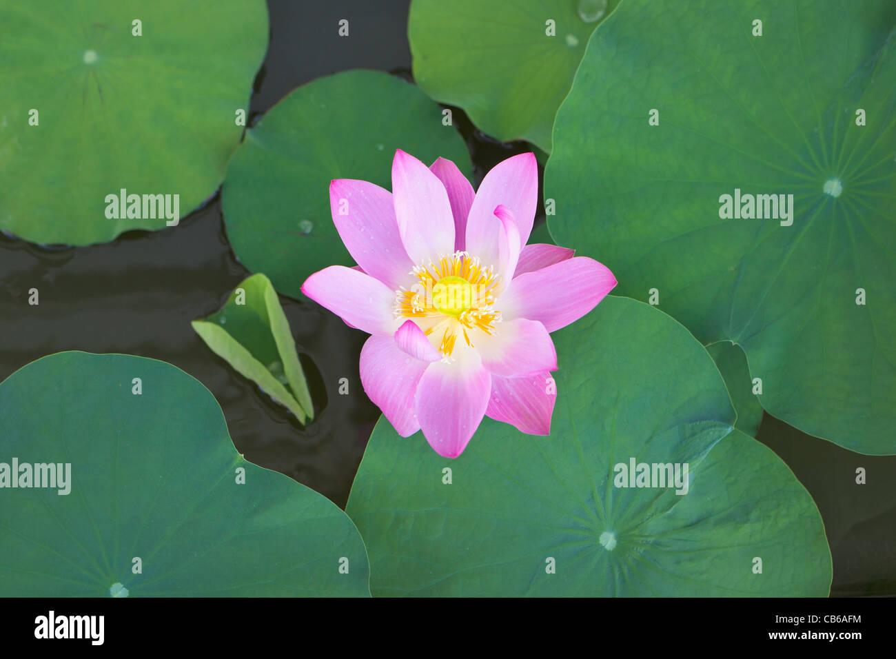 East Indian Lotus Immagini Stock