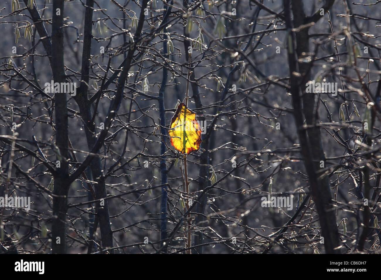Lone yellow leaf sul ramo. Immagini Stock