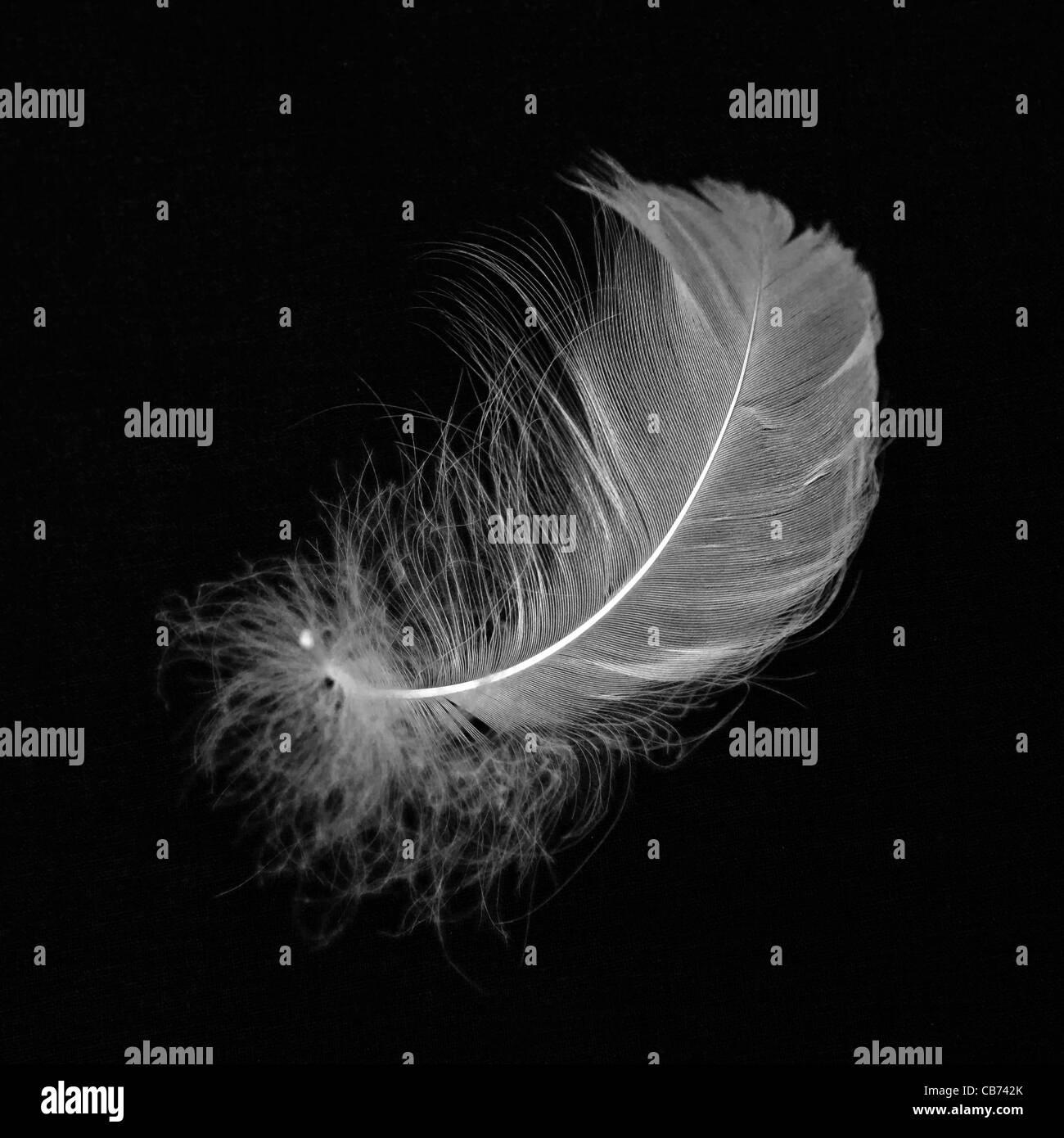 Piume bianche su sfondo nero Immagini Stock