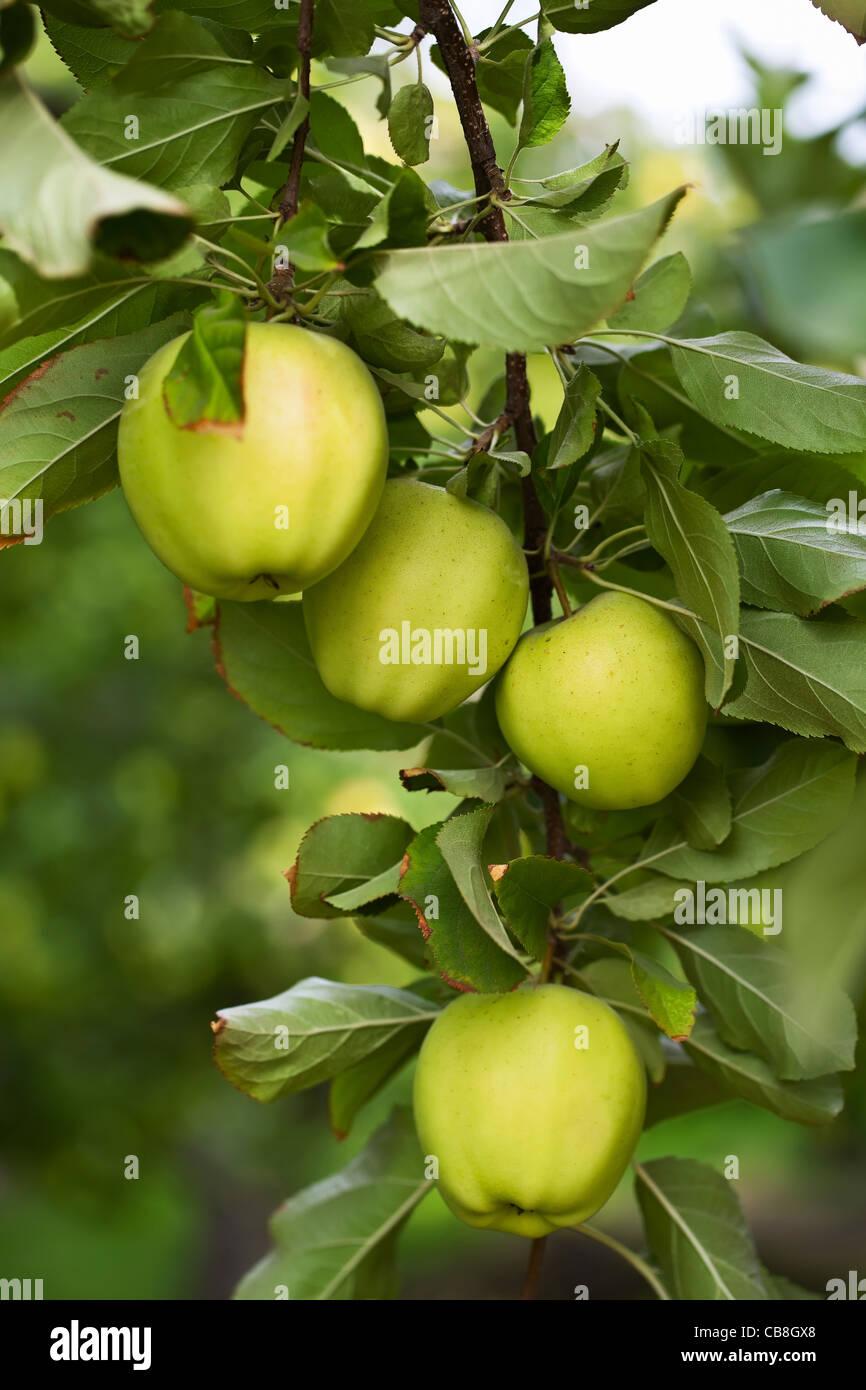 Mele Verdi che crescono su melo, Okanagan Valley. Osoyoos, British Columbia, Canada. Immagini Stock