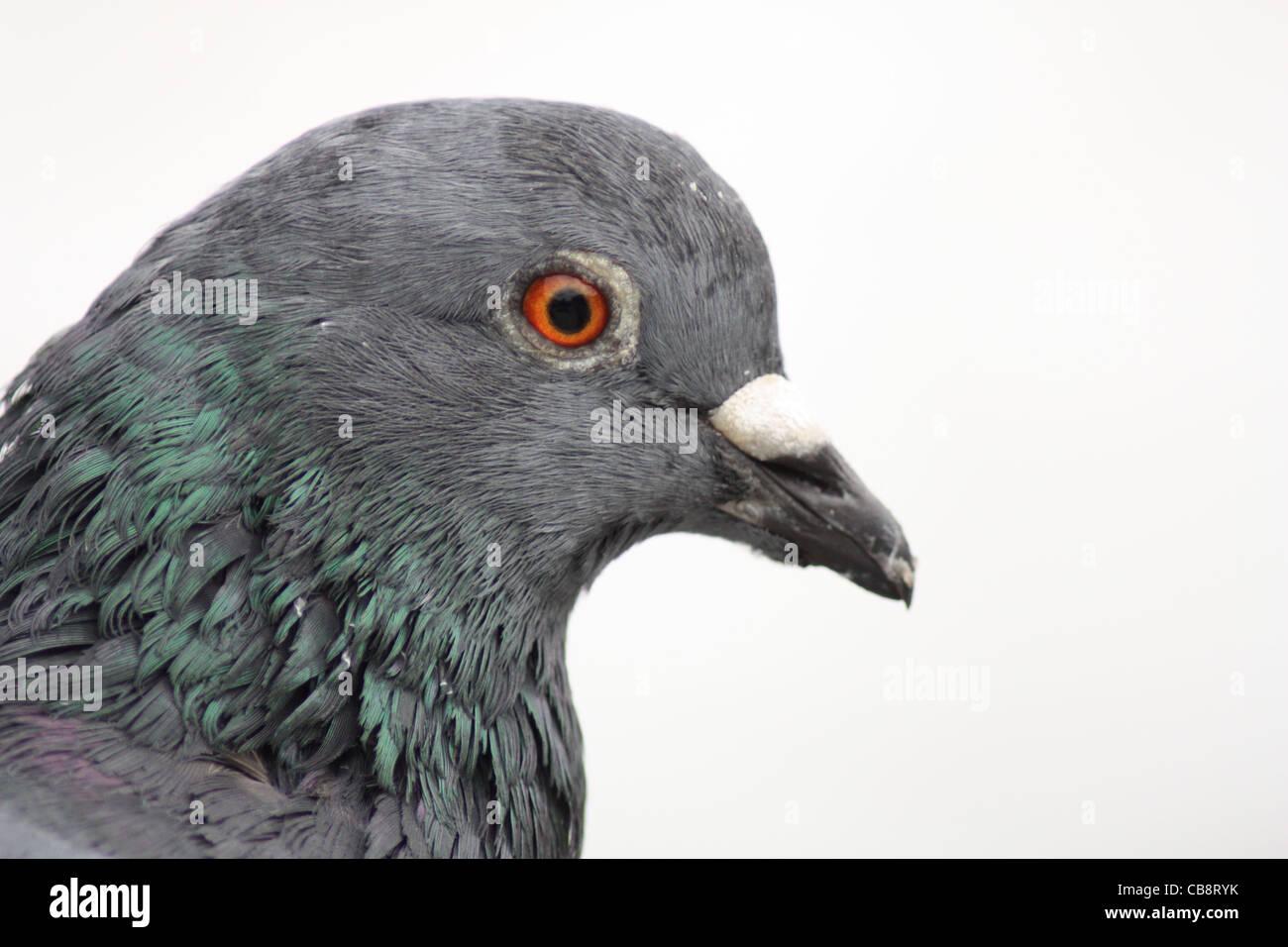 In prossimità di una testa di piccione Immagini Stock