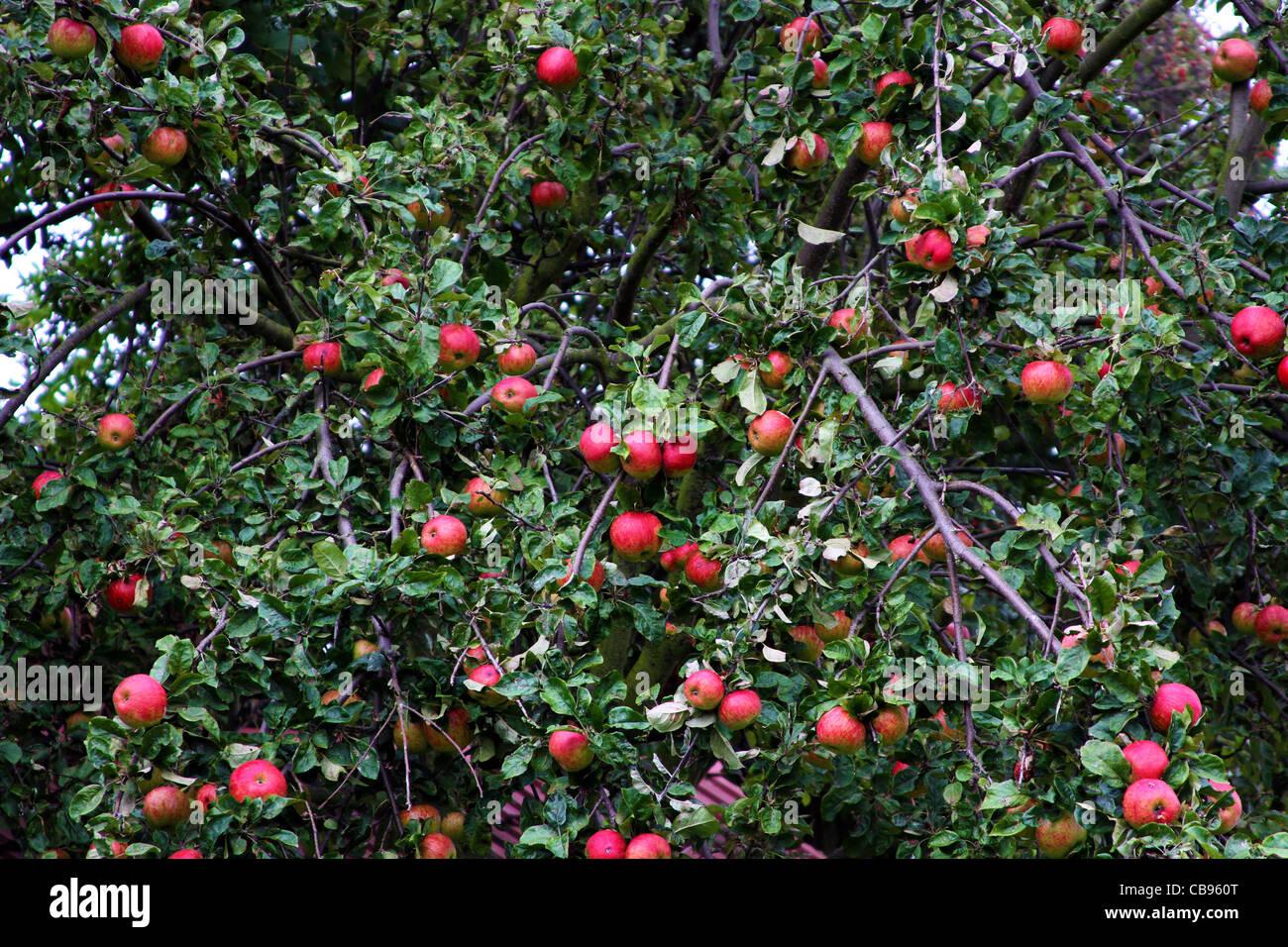 Albero di mele con carichi di mele Immagini Stock