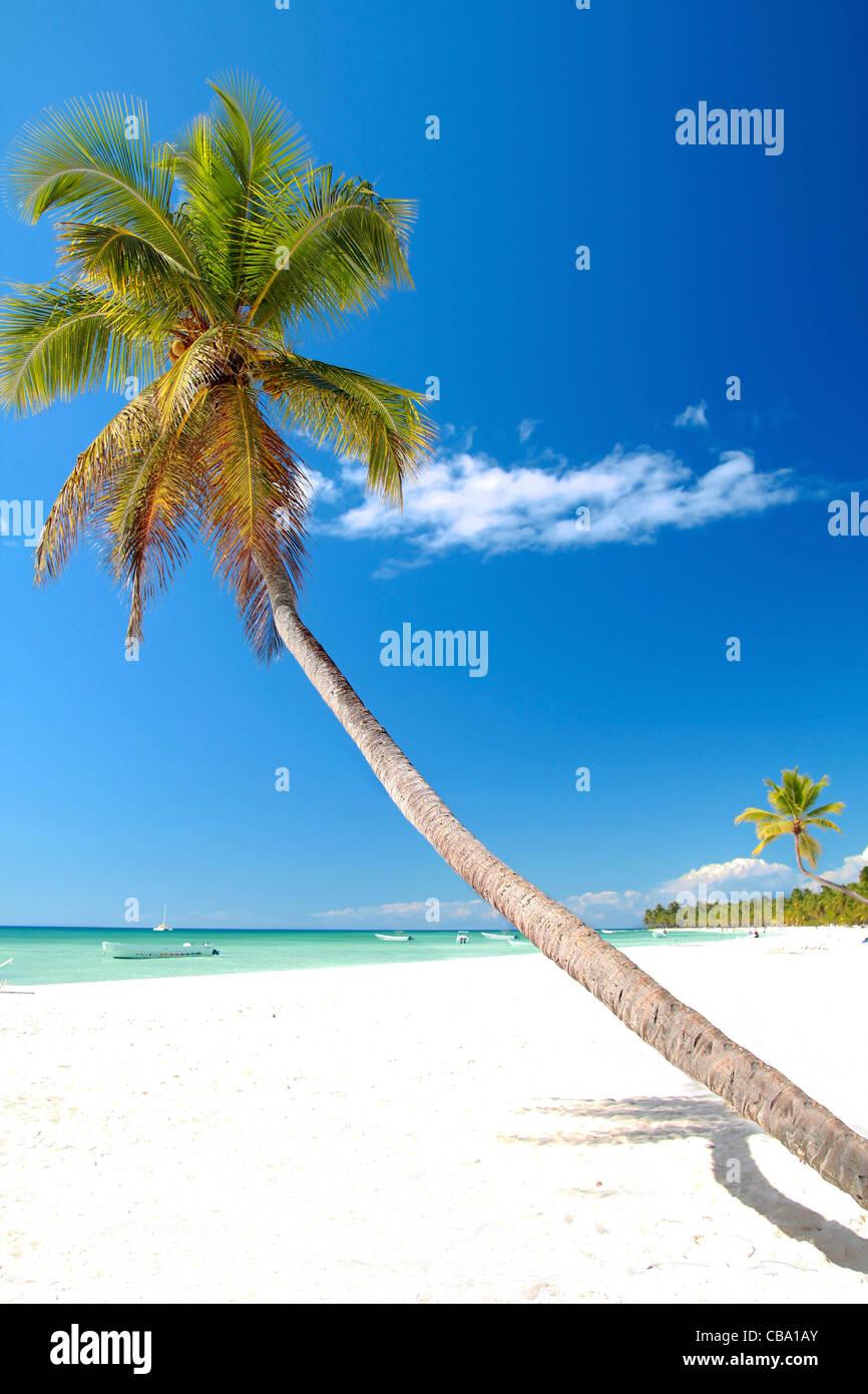 Palma da cocco sulla spiaggia caraibica con sabbia bianca Immagini Stock