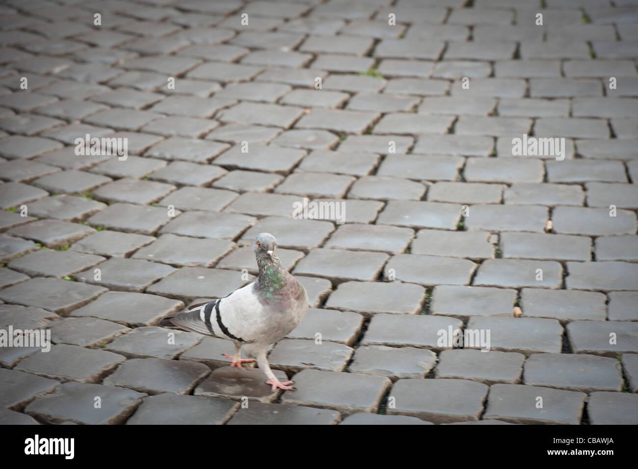 Pigeon camminando per le strade di Roma Immagini Stock