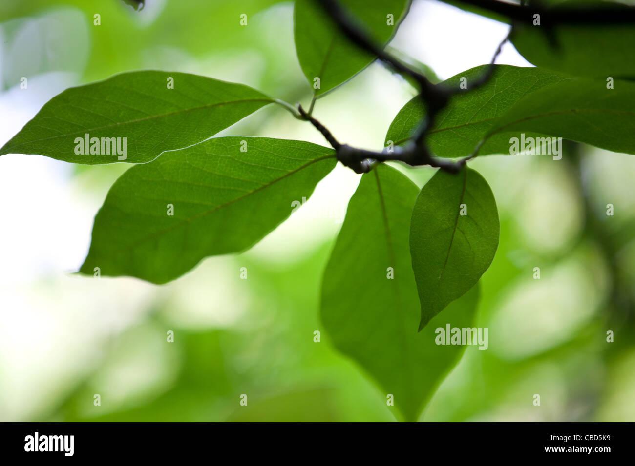 Close-up di foglie su un albero di Magnolia Immagini Stock