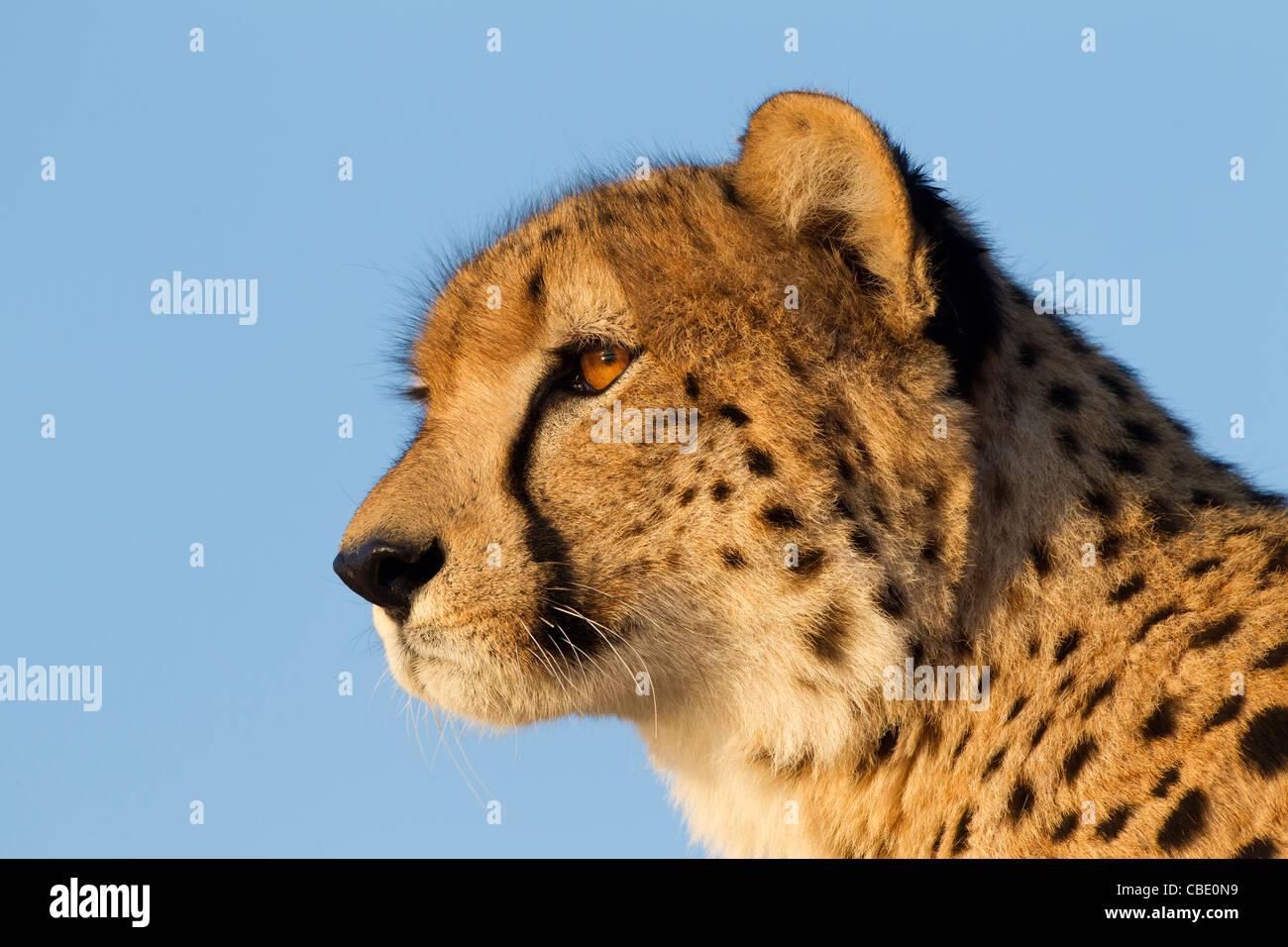 Ghepardo (Acinonyx jubatus) su un angolo inferiore con bella luce negli occhi. Immagini Stock