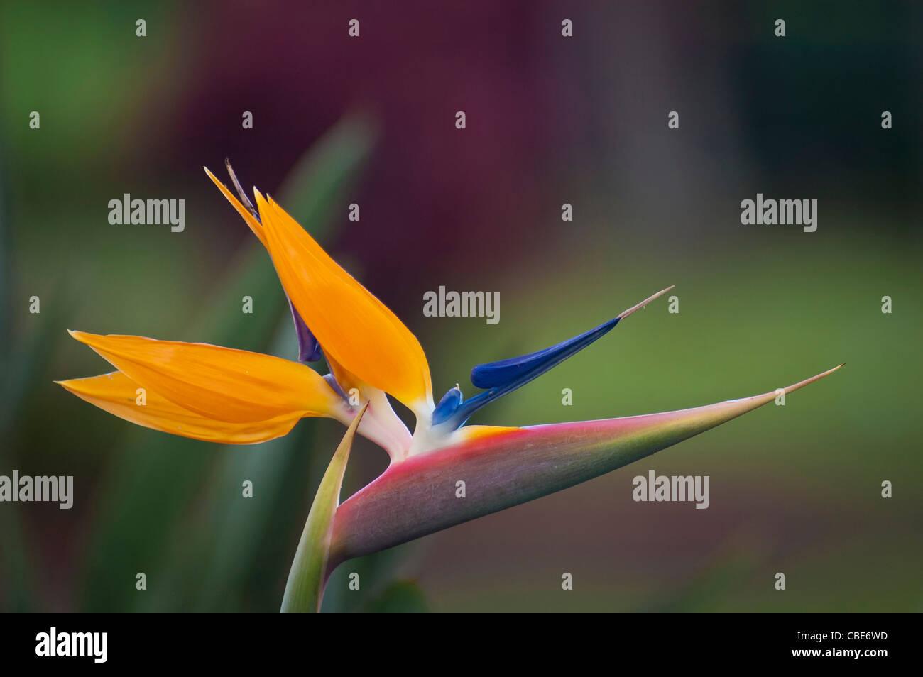 Uccello del Paradiso fiore (Strelitzia reginae); Hawaii. Immagini Stock