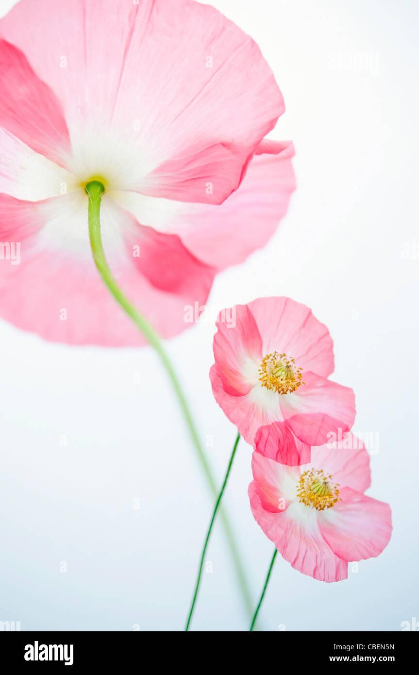 """Papaver rhoeas 'Angel's coro"""", papavero, rosso fiore rosa oggetto. Immagini Stock"""
