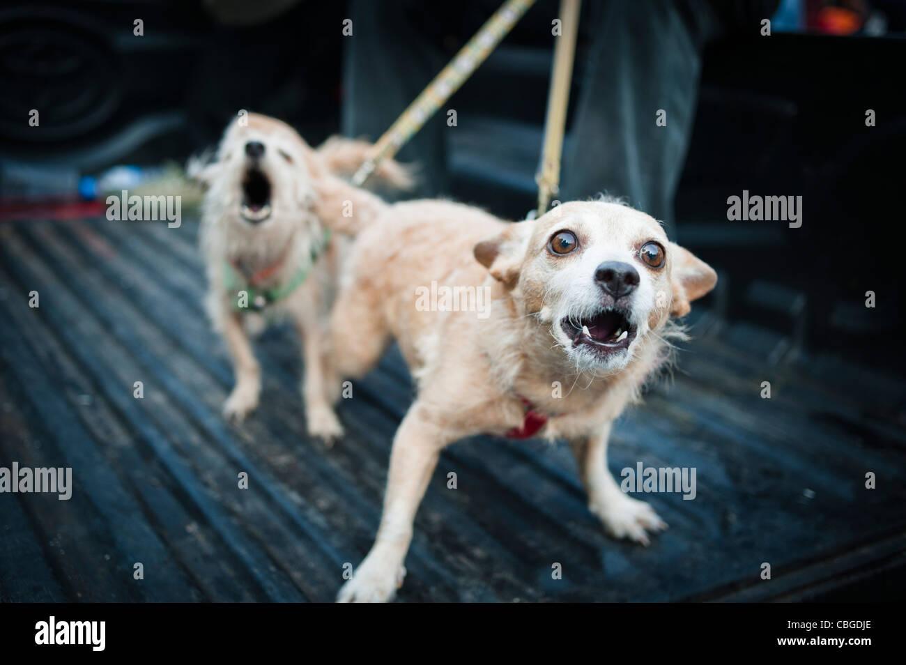 Feroci cani al guinzaglio a Bangkok, in Thailandia. Foto Stock
