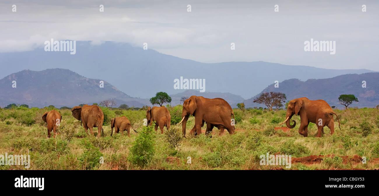Un piccolo branco di elefanti Loxodonta africanus arrossata con polvere di Tsavo National Park in Kenya con le colline Immagini Stock