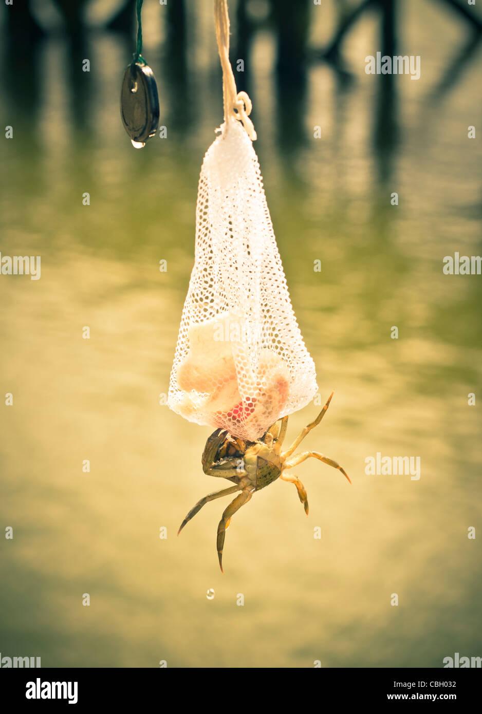 Attività di pesca del granchio su un molo. Il granchio attaccata alla sacca di bacon a pezzetti. Immagini Stock