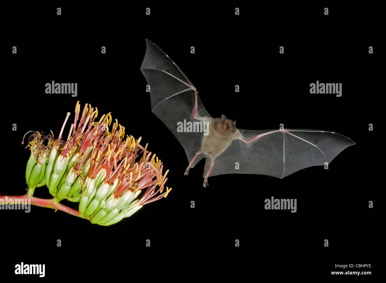 Minore a becco lungo Leptonycteris Bat curasoae Amado, Arizona, Stati Uniti 23 agosto adulto presso Parry di Agave fiori. Foto Stock