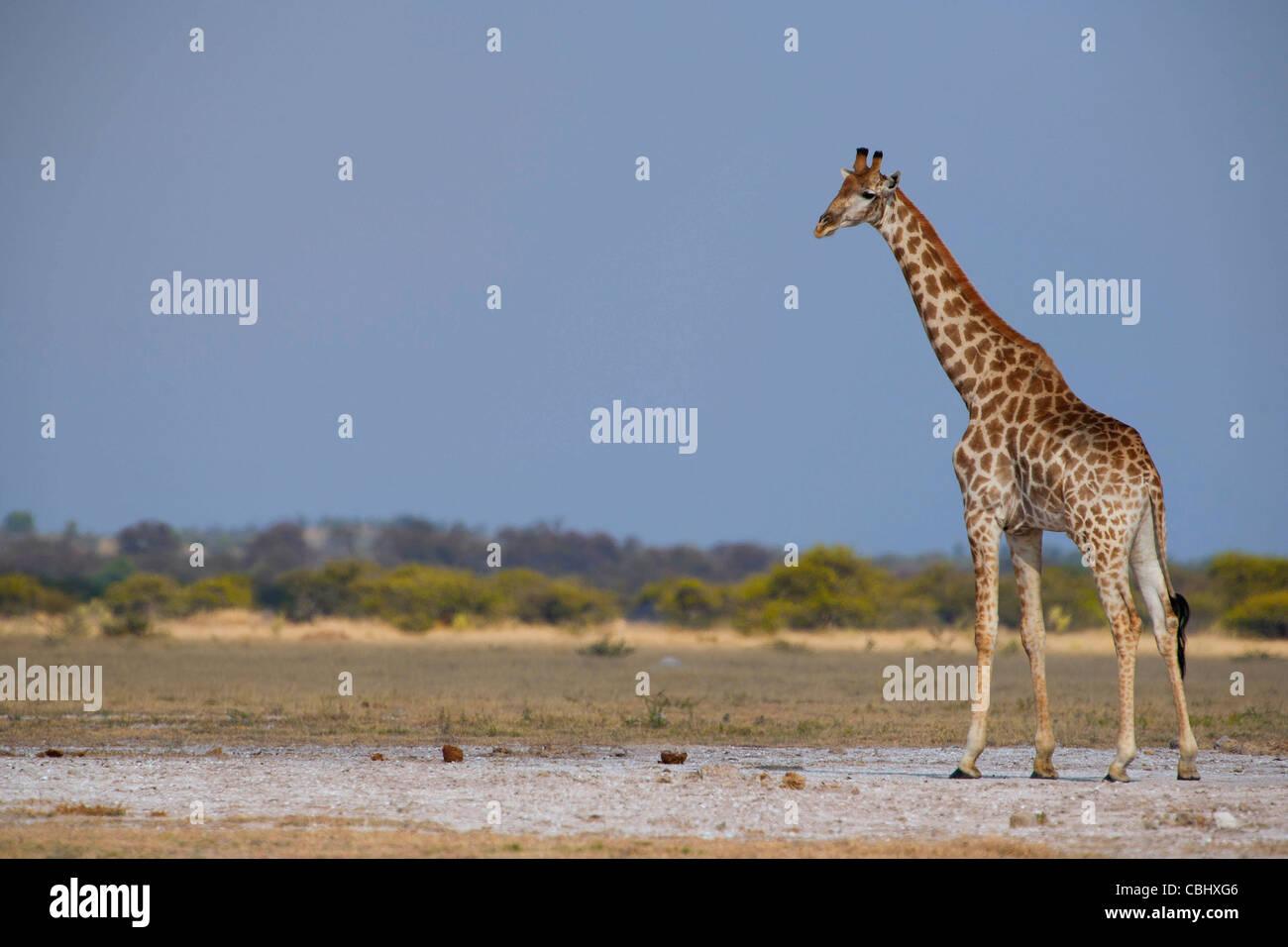 Una giraffa (Giraffa camelopardalis) acquisiti su una delle saline di Nxai Pan National Park, Botswana Immagini Stock