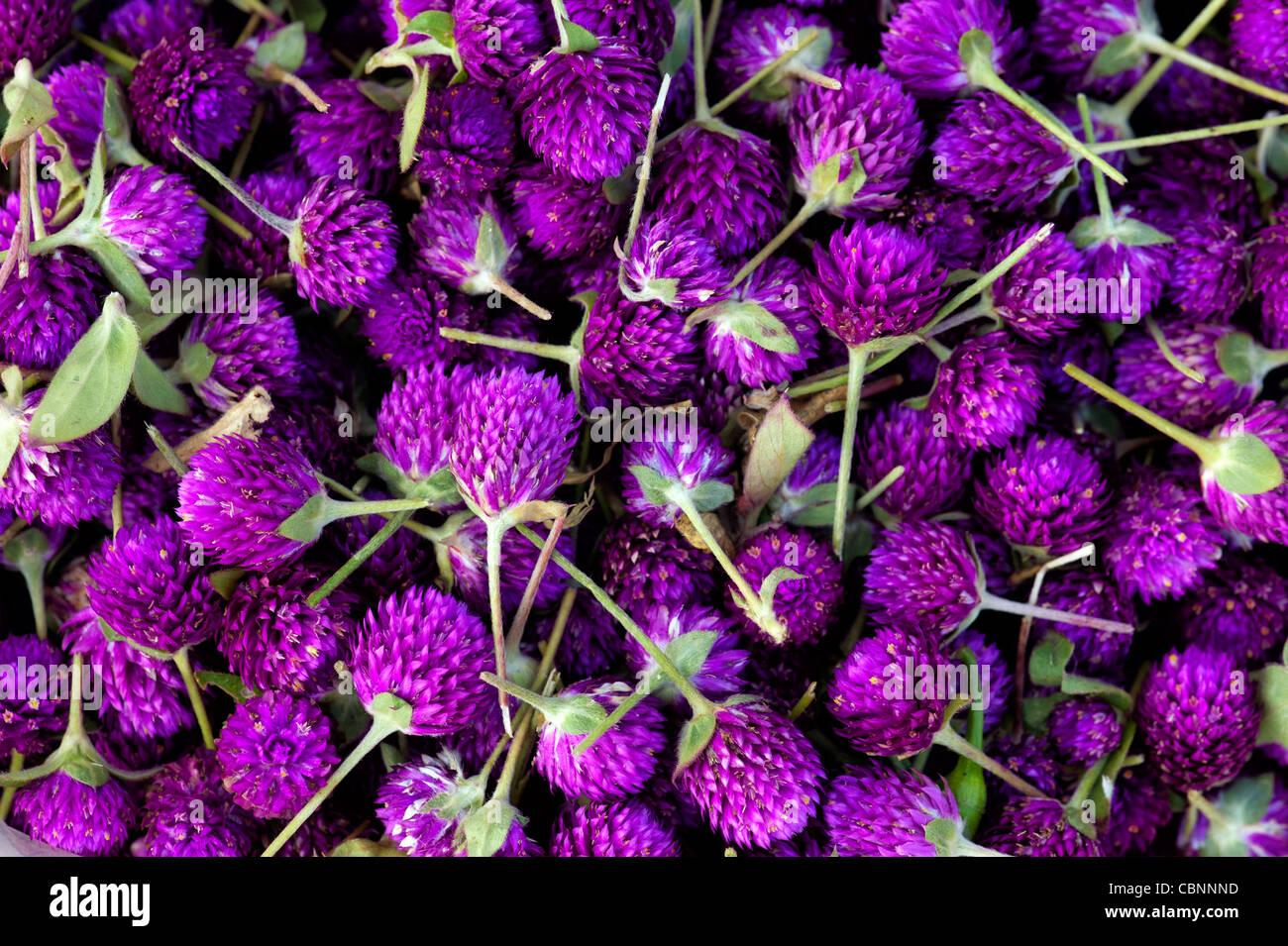 Gomphrena globosa. Amaranto a globo o pulsante di Bachelor fiori. Andhra Pradesh, India Immagini Stock