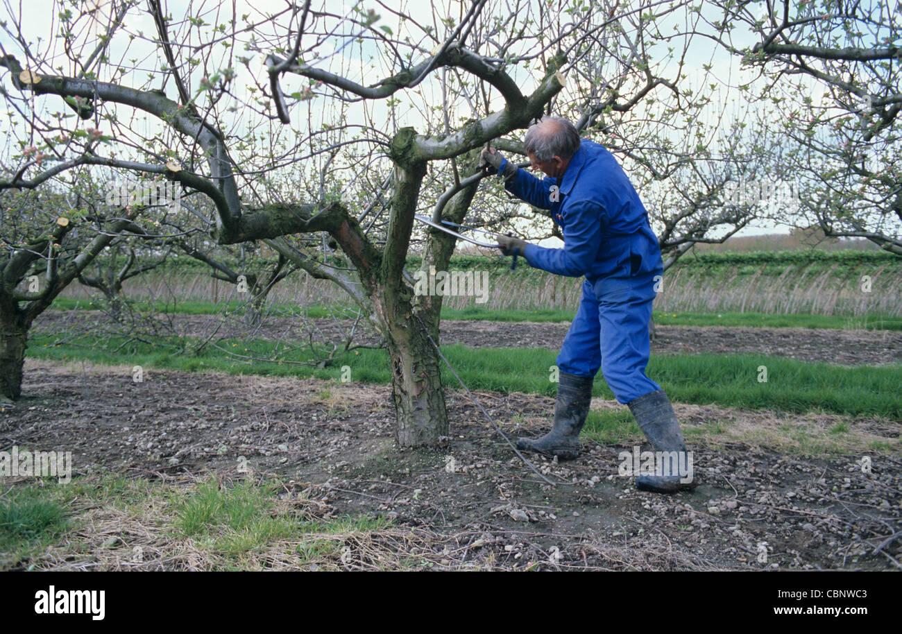 L'uomo la potatura di un albero di mele provenienti in foglia con un seghetto ad arco Immagini Stock