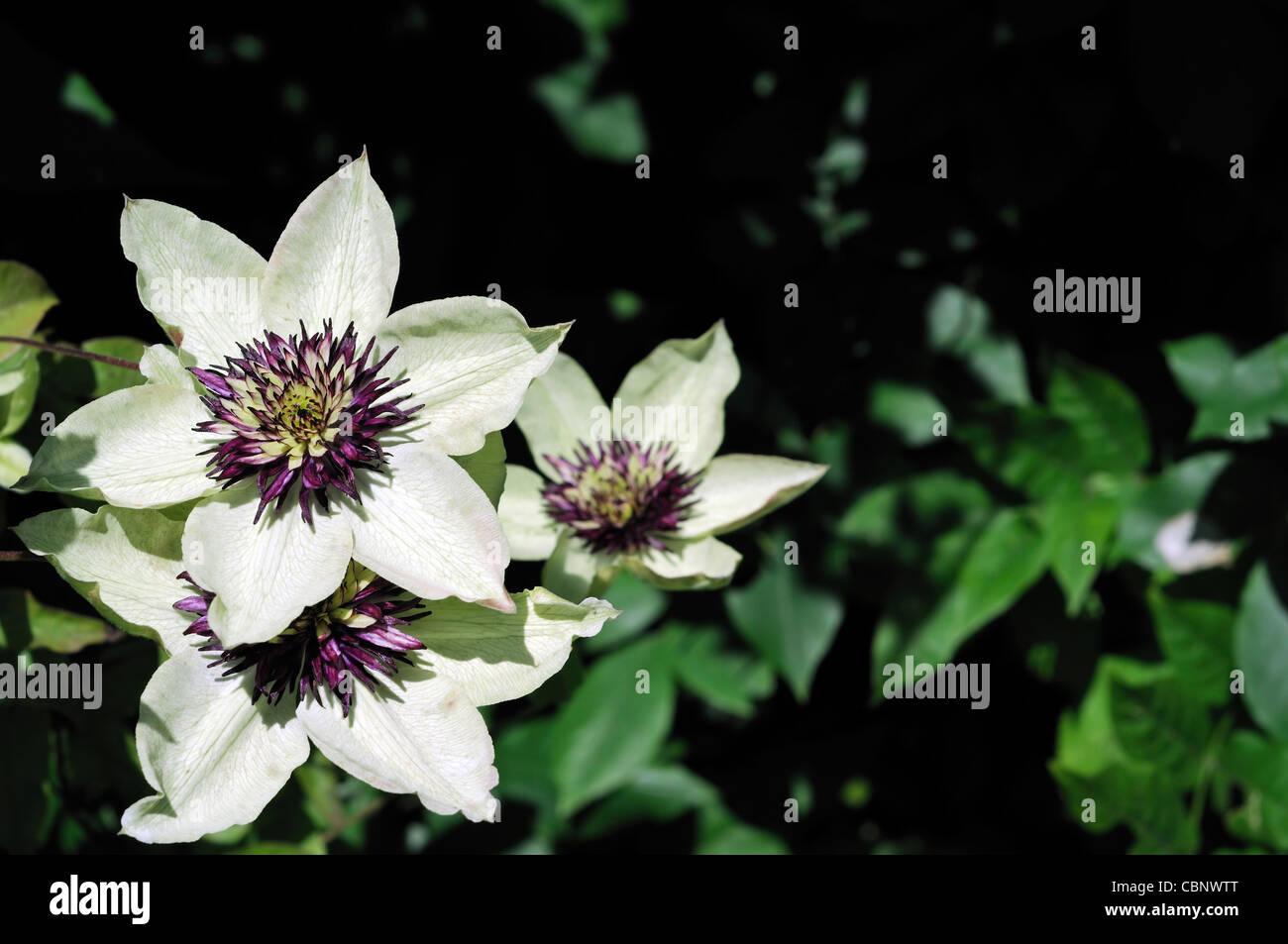 Clematis Sieboldii Florida Viola Fiori Bianchi Completamente A