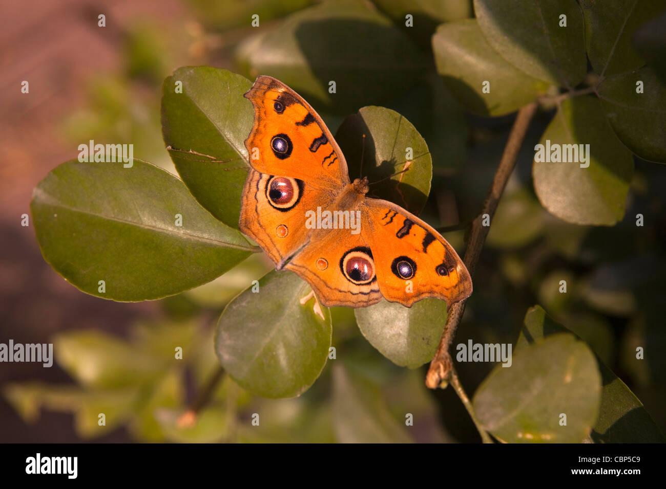 India, Bihar, Bodhgaya,, Peacock Pansy butterfly, preciso almana appoggiata nella luce del sole sulla boccola Immagini Stock